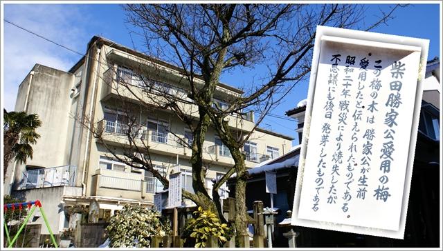 柴田勝家公愛用の梅の木